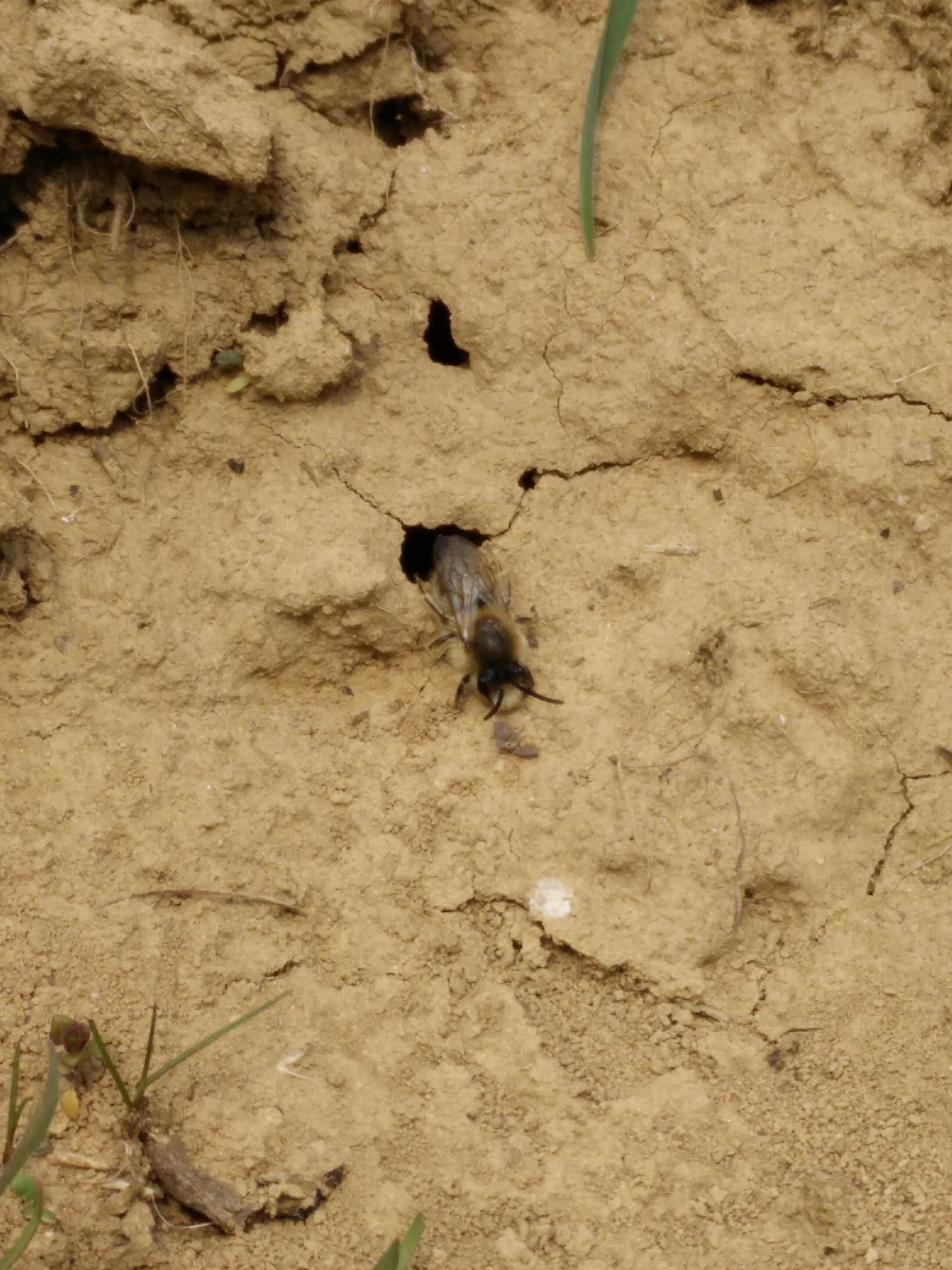 Biene aus einem Loch