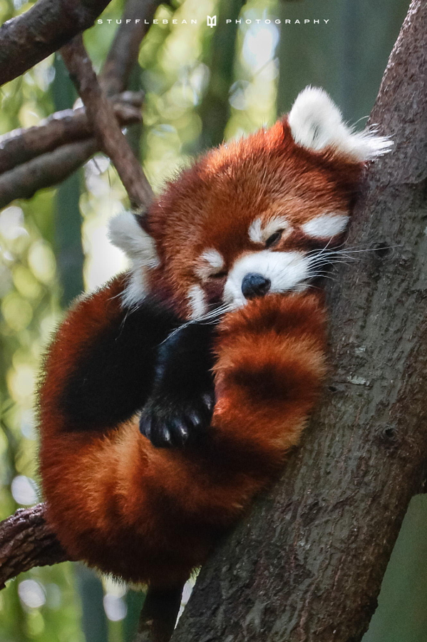 木の上でしっぽを丸めて眠るレッサーパンダ